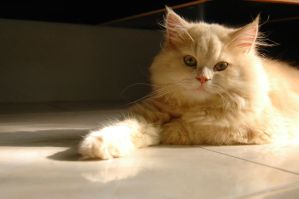 Playboy: The Persian Cat by skybookz