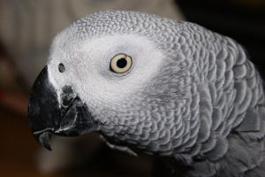 My own African Grey by AllAboutBirds