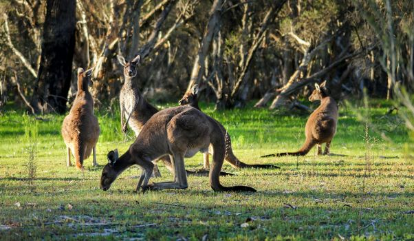 Local neighborhood Kangaroos by StachRogalski
