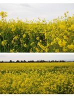 Goldenrod by cyniquently-stock