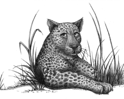 leopard by CatherineDS