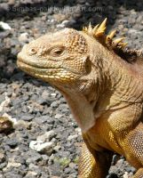 Iguana in Profile by Simbas-pal
