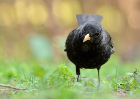 Blackbird by corsuse
