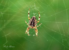 Orb Weaver and web by Mark-Allison