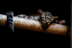 Clouded Leopard Cubs 8 by robbobert