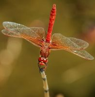 Dragonfly by photoquilter
