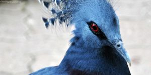Victoria Crowned Pigeon by Chaotic-Chelly