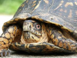 Box Turtle by redtailhawker