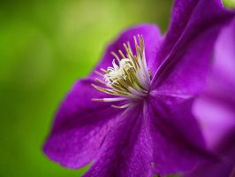 Clematis 2 by Swan-Lake