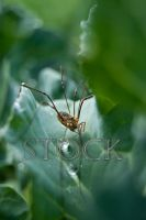 Harvestmen-Aphid-Stock-65 by Evil-e33
