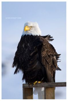 Bald Eagle... by PacIslander2