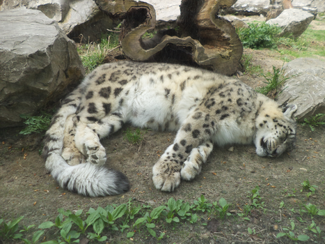 Snowleo at Cracow Zoological Garden by MrGorsh