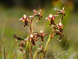 Donkey Orchids on Green 3 by Ratabago