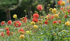 dahlia field in flora garden by ingeline-art