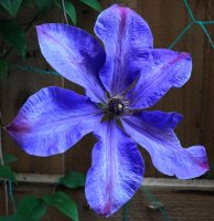 May Clematis 2 by Forestina-Fotos