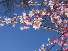 Crabapple branch 02 by CotyStock
