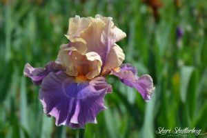 For the Love of Irises by Scooby777