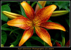 Lily 9 by KSPhotographic