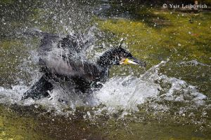 Cormorant going wild 2 by Yair-Leibovich