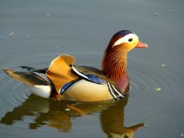 Stock 279: male mandarin duck by AlzirrSwanheartStock