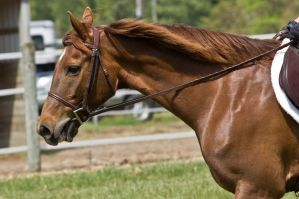 Chestnut 8 by erl-stock