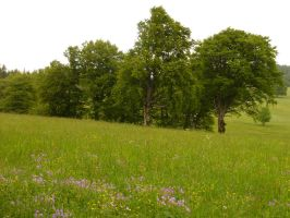 Beech trees and Field 1 by SelvaStock