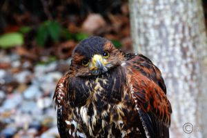 Bird of Prey 2 by pduffill