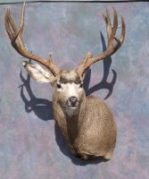 Mule Deer Shoulder Mount 2 by Minotaur-Queen