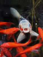 The singing Koi by riviera2008