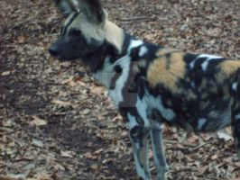 African Wild Dog 1 by Rukia1000