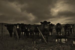 gang of cows by contemporaryhart
