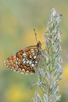 False Heath Fritillary by MartinAmm