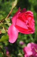 Vibrant Rose by charliemaedel
