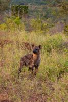 Hyena in the last sunrays of the day by DeviantTeddine