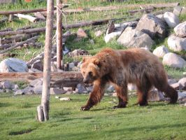 Cruising Grizzly by riverwater12