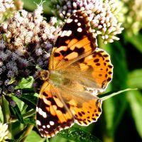 Painted Lady Butterfly by Dieffi