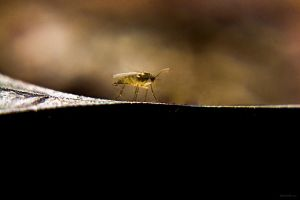 Small Gnat by dannypyle