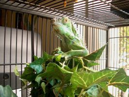 George the Iguana by masonmouse