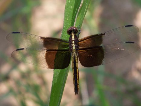 Resting Dragonfly by JoAnneVance