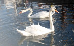 Swans by LirianaPhotography
