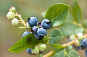 Ripening blueberries by muffet1