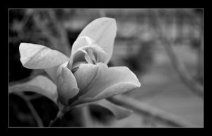 BW Flower by snacktime