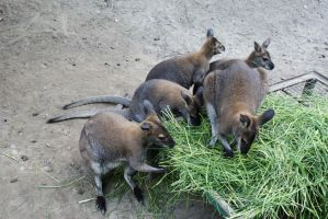 Red necked Wallaby by jANNAart