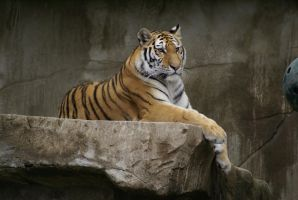 Tiger 016 by MonsterBrand-stock