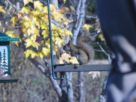 Hungry Squirrel by Vierrick