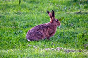 March Hare in the sun by Steve-FraserUK