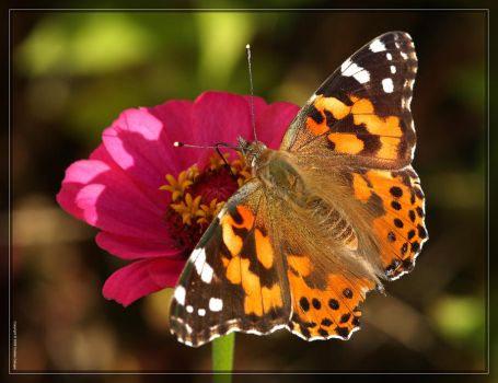 Painted Lady 40D0028899 by Cristian-M
