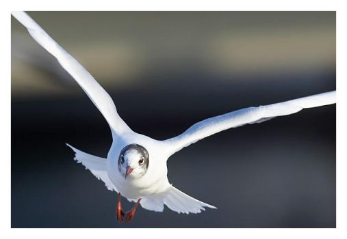 Larus canus no.3 by Westerberg