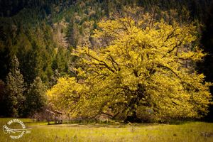 Grandmother Maple by DanOstergren