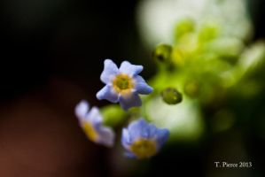 Forget Me Nots by thriftyredhead